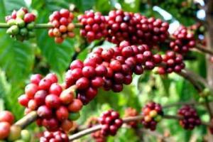 Sự tích cây cà phê - Truyện cổ tích thần kỳ cho bé