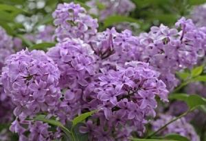 Sự tích hoa Tử Đinh Hương Ba Tư