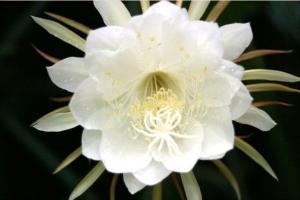 Sự tích Hoa Quỳnh - Truyện cổ tích loài hoa hay nhất thế giới