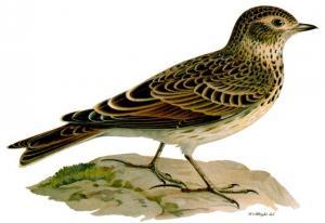 Sự tích chim sơn ca - Truyện cổ tích về loài vật