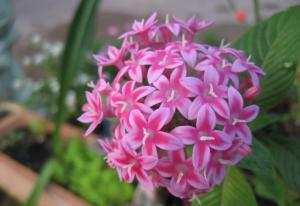 Hoa phụng tiên (hoa móng tay) - Truyện cổ Grimm về loài cây