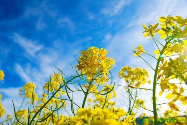 Sự tích Hoa cải lên trời Rau răm ở lại - Truyện cổ tích loài hoa hay nhất thế giới