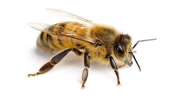 Truyện Ong chúa - Truyện cổ tích Grimm nói về lòng biết ơn