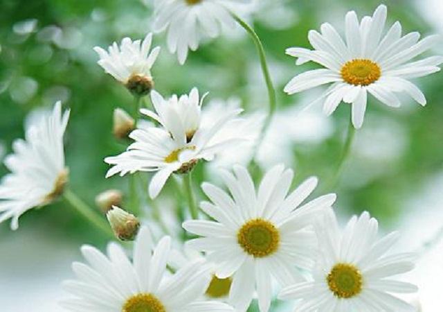 Sự tích hoa cúc tây - Truyện cổ tích loài hoa hay nhất thế giới